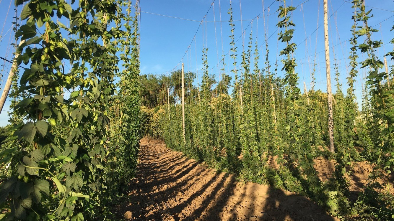 The California Hop Harvest and Fresh Hop Beer
